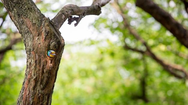 Un uccello taiwan barbet megalaima nuchalis nel buco nidifica sull'albero a taiwan daan forest park a taipei