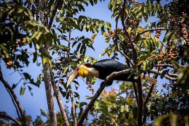 Bird wreathed hornbill rhyticeros undulatus si appollaia su tree