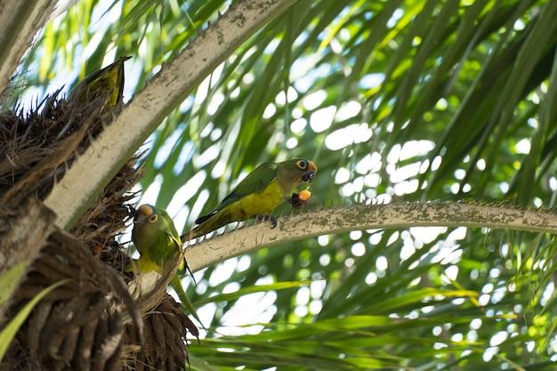 Uccelli chiamati maritacas, con piume verdi e gialle, che mangiano frutta dall'albero in un parco brasiliano. messa a fuoco selettiva.