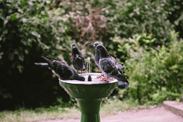 Gli uccelli colombe bevono acqua da una fontana per bere