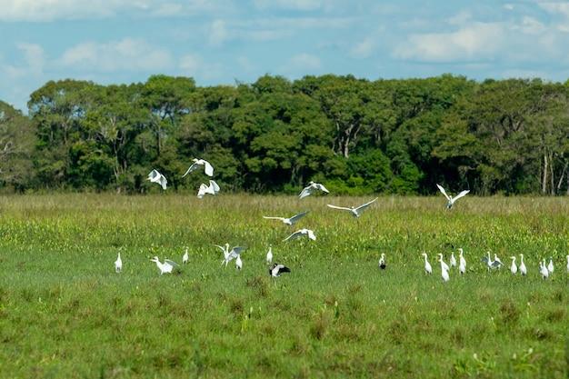 Uccelli nella zona umida del mato grosso pocone mato grosso brasile