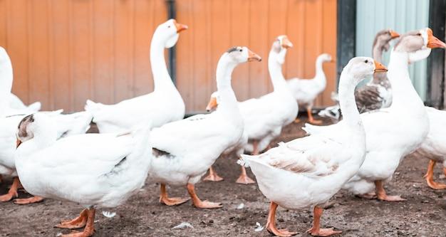 Uccelli all'aperto ravvicinati, oche bianche camminano nell'allevamento di pollame, messa a fuoco selettiva.