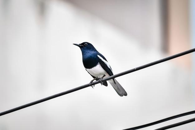 Gli uccelli che vivono sui fili della città sono attivi al mattino.