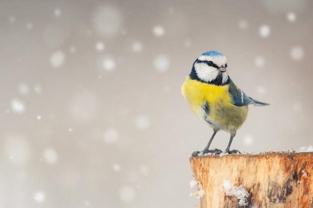 Uccelli in inverno - cinciarella, cyanistes caeruleus, seduto su una mangiatoia invernale durante una nevicata.