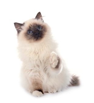 Gatto di birman isolato su bianco Foto Premium