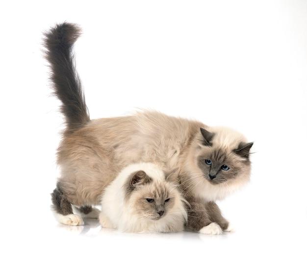 Gatti birmani davanti a sfondo bianco