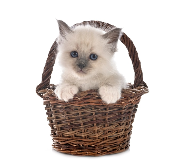 Gattino birman davanti a sfondo bianco
