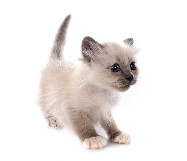 Gattino birmano davanti a sfondo bianco