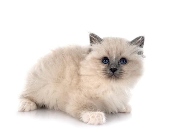 Gattino birmano davanti al muro bianco Foto Premium