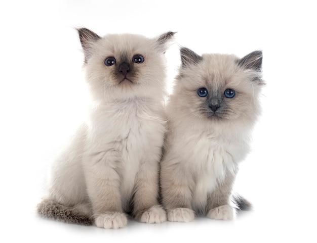 Gattino birmano davanti al muro bianco