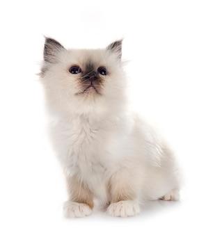 Gattino birmano