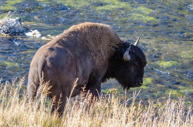 Bisonte che beve dal fiume firehole nel parco nazionale di yellowstone