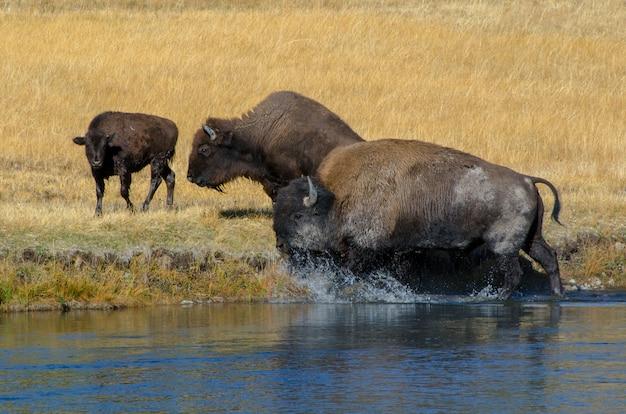 Mandria di bisonti che attraversa il fiume firehole nel parco nazionale di yellowstone