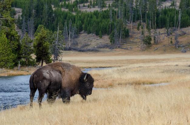 Bisonte vicino a nez perce creek nel parco nazionale di yellowstone