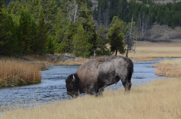 Bison vicino a nez perce creek nel parco nazionale di yellowstone