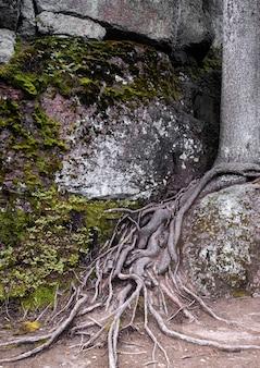 Bizzarre radici di alberi spogli su enormi massi nella foresta di abeti rossi del nord