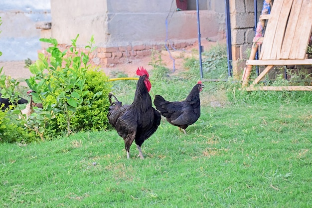 Gallo e gallina astralop nero nel prato