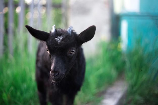 Capra bambino nero sul muro di erba verde all'aperto.