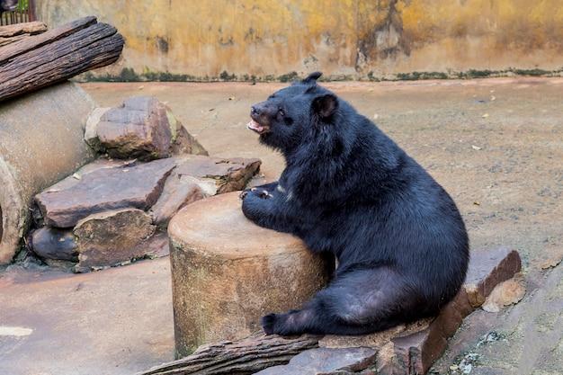 Orso nero allo zoo