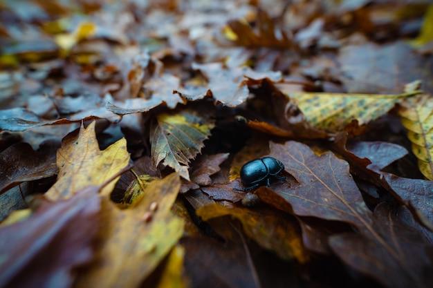 Scarabeo di scarabeo nero-blu (cetonia aurata) vicino sul ritratto sulla terra con fogliame.