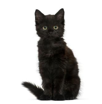 Gattino gatto nero seduto e guardando la telecamera, isolata su bianco