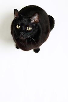 Gatto nero seduto visto dall'alto su sfondo bianco