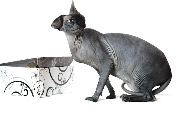 Gatto nero, la sfinge, guardando con rabbia di lato su uno sfondo bianco accanto alla scatola