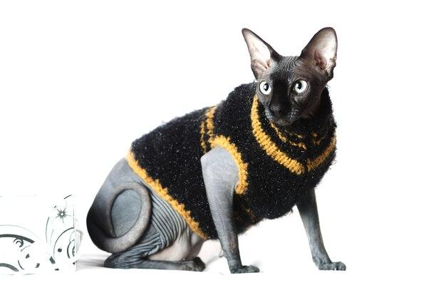 Gatto nero, vestiti di gatto sphynx in maglione su sfondo bianco