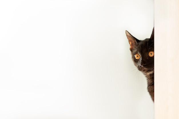 Gatto nero con occhi gialli isolato sfondo biancoprodotti pubblicitari per animali veterinari