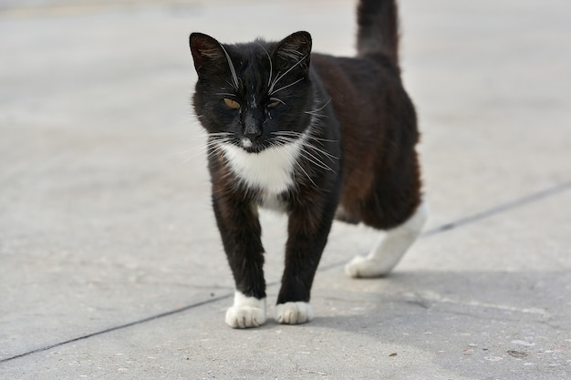 Un gatto nero senza zampa posteriore sta camminando per strada. ritratto di un soffice gatto nero disabile