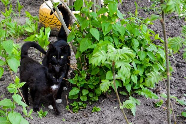 I gatti neri con gli occhi gialli che camminano in giardino.