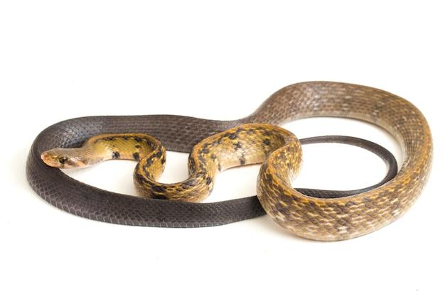 Serpente di ratto rame nero su sfondo bianco