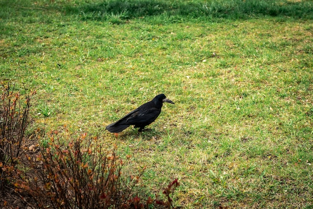 Corvo nero sull'erba nel parco.
