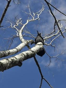 Un corvo nero si siede su un albero secco contro un cielo blu. vista di primavera.