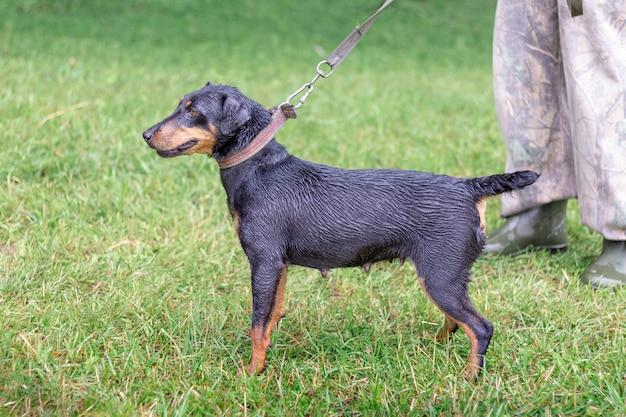Terrierr tedesco di caccia del cane nero durante una passeggiata nel parco con il proprietario in piovoso weathe
