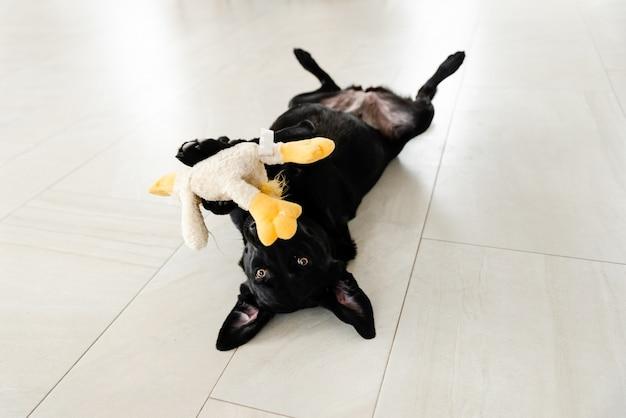 Un cane nero è sdraiato sul pavimento e tiene un giocattolo tra i denti