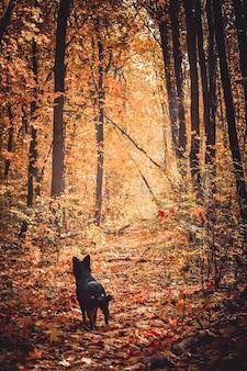 Il cane nero ascolta nella foresta autunnale, la caduta delle foglie autunnali o la defogliazione, tutte cosparse di foglie gialle