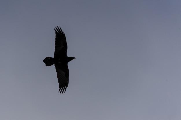 Aquila nera che vola da solo nel cielo