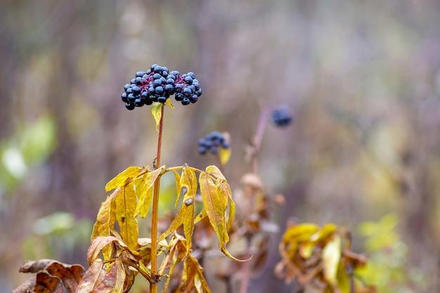 Bacche di sambuco nero su uno sfocato in autunno