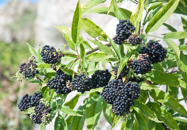 Sambuco nero bush (sambucus nigra) frutta in presenza di luce solare