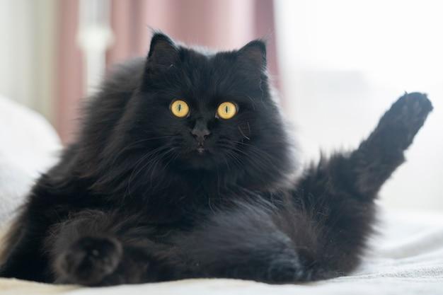 Un gatto lanuginoso nero con gli occhi gialli giace e riposa in una posa divertente a casa.