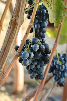 Grappoli di uva nera in tempo di vendemmia per la produzione di cibo o vino.