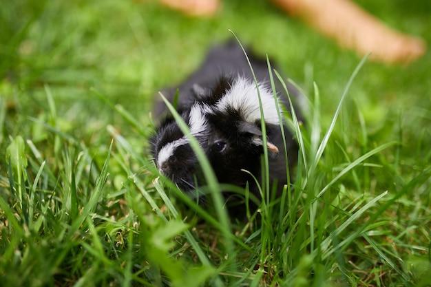 Cavia nera seduta all'aperto in estate, cavia calicò pet pascola nell'erba del cortile del suo proprietario, copia spazio.