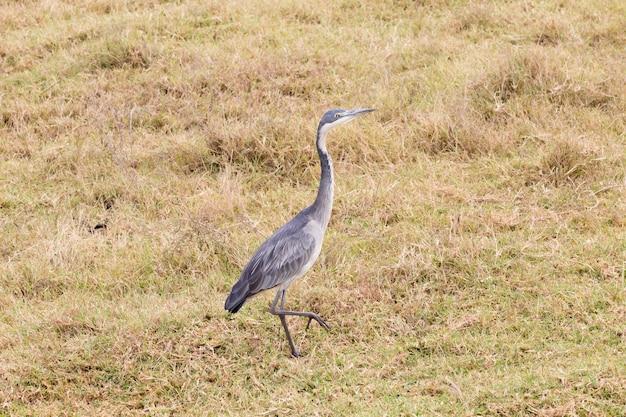 Uccello dell'airone dalla testa nera. cratere dell'area di conservazione di ngorongoro, tanzania. fauna africana