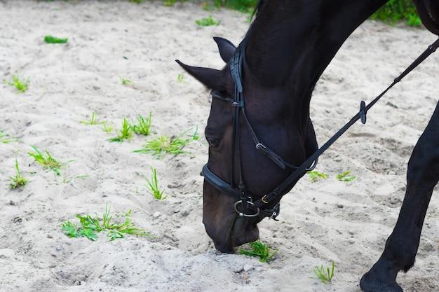 Cavallo nero che mangia erba, nutrendosi di ranch
