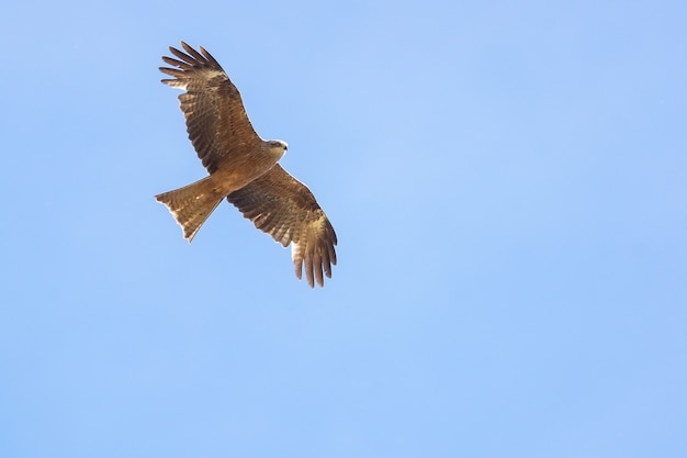 Nibbio bruno (milvus migrans) che vola nel cielo blu