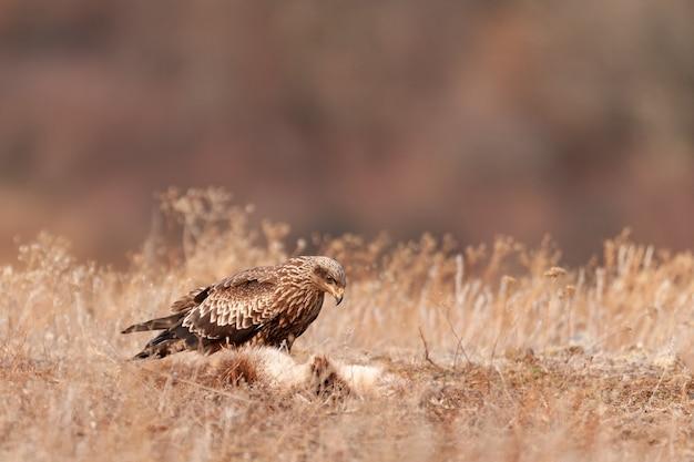 Un nibbio bruno si trova in un prato. milvus migrans.