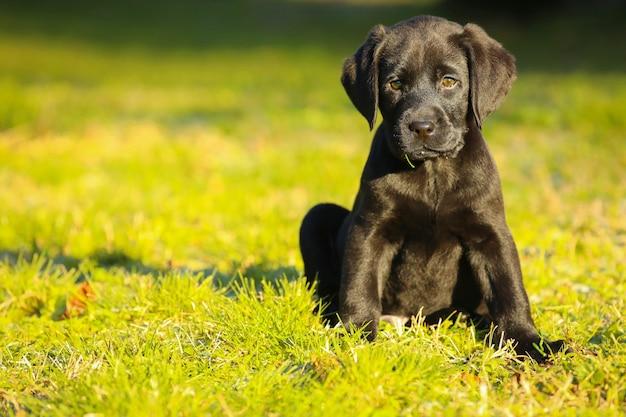 Cucciolo di labrador nero sull'erba. cane felice seduto nel parco.