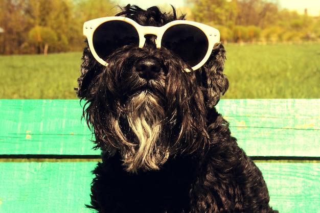 Schnauzer nano nero con occhiali da sole