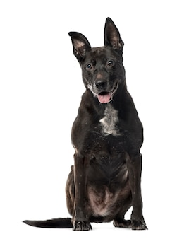 Black mixed razza cane seduto, isolato su bianco